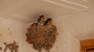 Chicks in a nest with beaks open