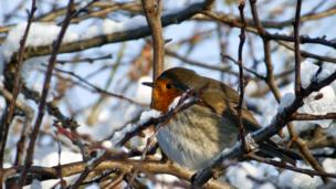A robin sitting on a branch of a tree