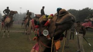 Camel dressed up in parade