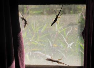Lizards on a window screen