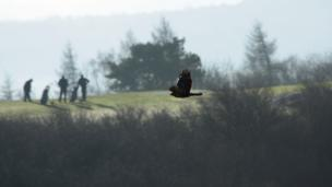 Buzzard flying past golfers