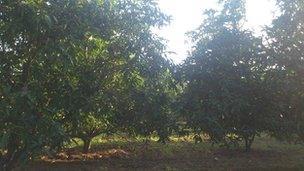 Arab Spring hits Indian mango producers - BBC News
