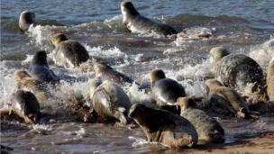 Seals entering the sea