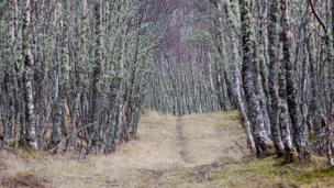 Lichen and birch trees line a path
