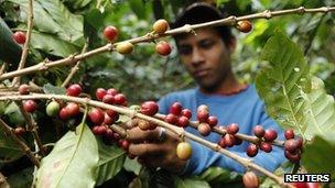 A boy picks ripe coffee beans at a coffee plantation - file photo