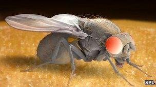 Drosophila SEM