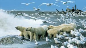 Polar bears scavenging