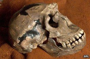 """Turkana Boy"" skull"