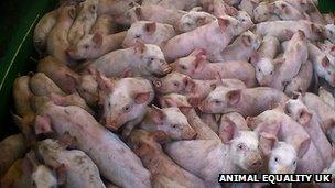 Crowded piglets