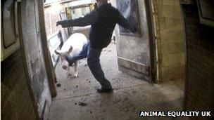 Man kicking pig