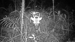 Spotted deer (c) Neil D'Cruze/ James Sawyer
