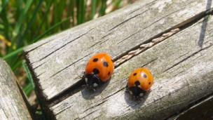 Ladybirds on a bench