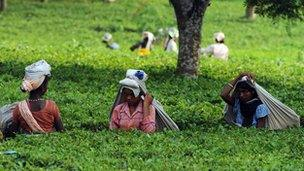 Female garden workers picking tea