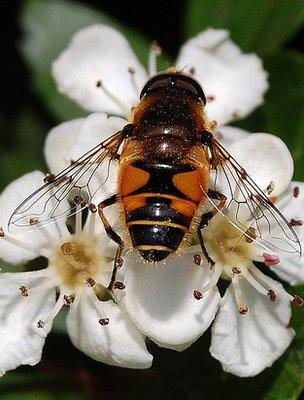 Hoverfly on a hawthorn flower