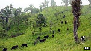 Cattle on cleared forest in Ecuador