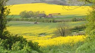 Who what why why is there more oilseed rape being grown bbc news the fields of the uk seem to have a lot of oilseed rape in them this year why mightylinksfo