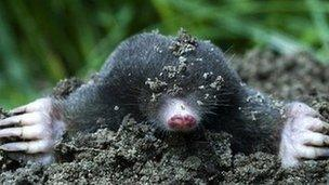 Image caption Moles are considered cute by some but a pest by others