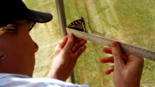 Measuring the butterfly of Papilio canadensis