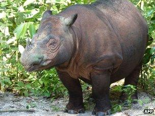 Ratu the Sumatran rhinoceros near the end of her pregnancy (22 June 2012)