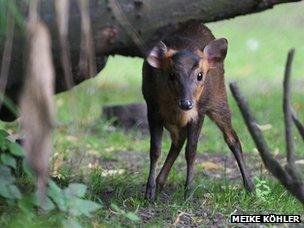 Muntiacus, South Asian deer