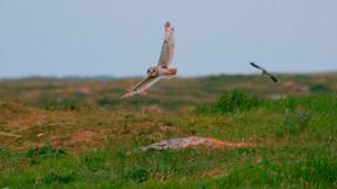 An owl and an oystercatcher mid flight
