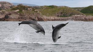 Dolphins off Iona