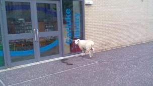 Sheep standing outside a library