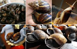 African snail deadly invasion in south america bbc news from top left clockwise snail in jar snails in a bowl two freerunsca Gallery