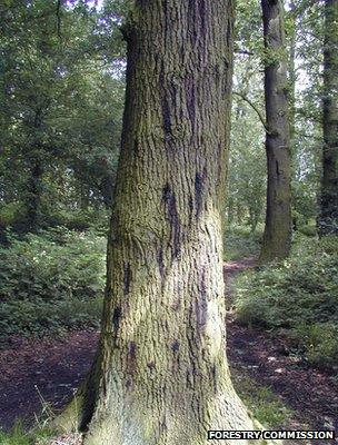 Acute oak decline - tree with cankers (Image: Forestry Commission)