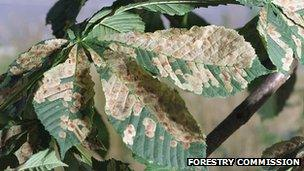Horse chestnut leaf miner (Image: Forestry Commission)