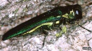 Emerald ash borer (Image: USDA)