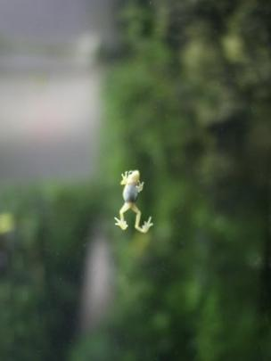 A tiny frog climbing up a window pane
