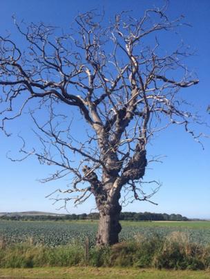 Gnarled tree