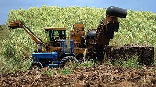 Sugar cane being harvested