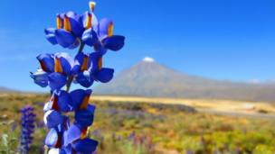 A purple flower with a mountain in the background