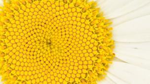 A close up of a daisy