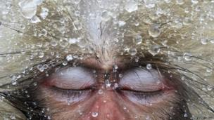 A close up of a Macaque monkey's face. Its eyes are closed as pearls of water drip from its fur.