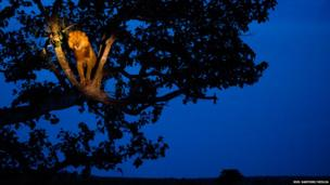 A silhouetted tree on the savannah. A lion is illuminated high in the tree by torch light.