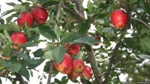 Katja apples