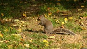 Reg Haslett of Glenavy Autumn Squirrel