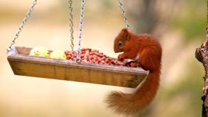 Gary Lowes photographed a baby red squirrel feeding up before the winter in Strathyre near Callander.