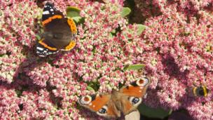A peacock and red admiral butterfly feed on the sedum at Drum Castle in Aberdeenshire in the late summer sun. Picture taken by Ian Cameron from Aberdeen.