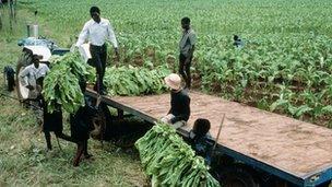 Tobacco farmers in Malawi