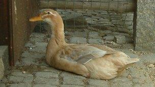 Valuable ducks stolen from Kilrea farm - BBC News
