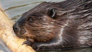 Beaver (picture by Richard Witte van den Bosch)