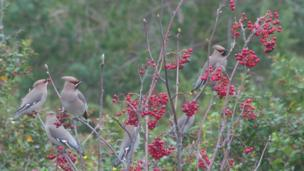 Waxwings in trees