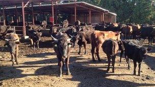 Cows of Masami Yoshizawa, who has a farm near Tatsuno village