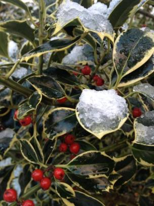 Ice on a holly tree