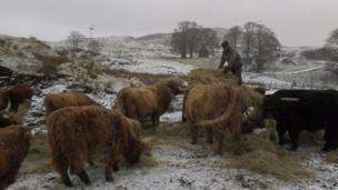 Farmer feeding Highland cattle