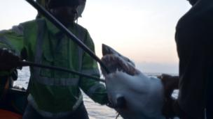 Crewmen about the Kenyan fishing vessel hauling on board a shark